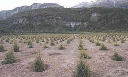 Plantación de pinos sobre las cenizas del volcán Hudson
