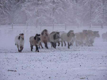 Caballos de Oymyakon