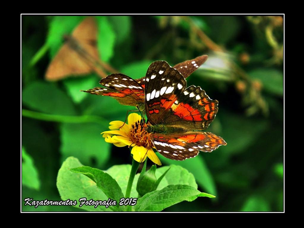 Mariposa en duo