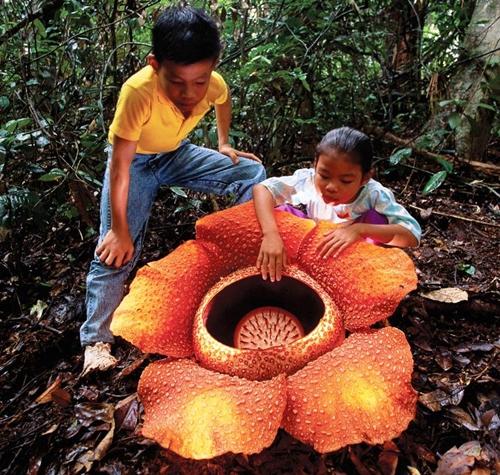 Rafflesia arnoldii2