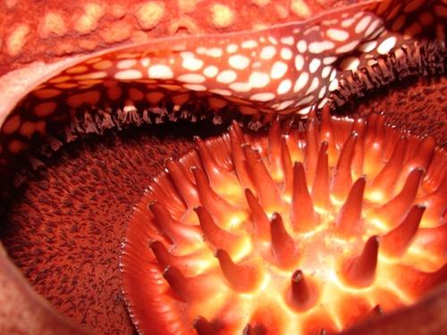 Rafflesia-arnoldii7