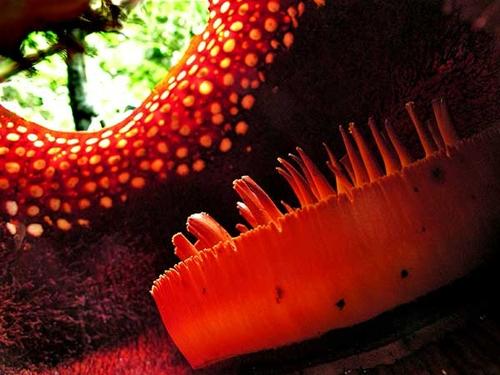 Rafflesia8