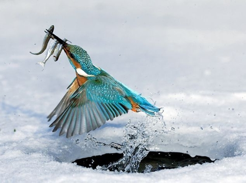 Eisvogel mit Beute im Schnabel Kingfisher popping out of water with catch in pecker