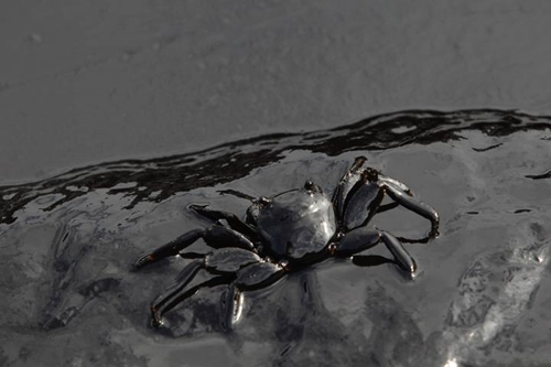 A crab covered in oil slick is seen at Ao Prao Beach in Koh Samet