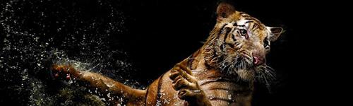 Tigre s