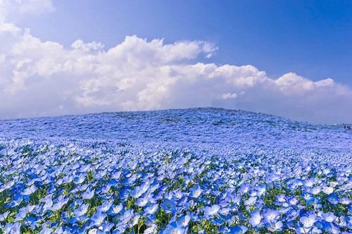 Flores ojos azules 2