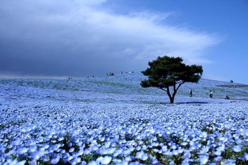 Flores ojos azules 3