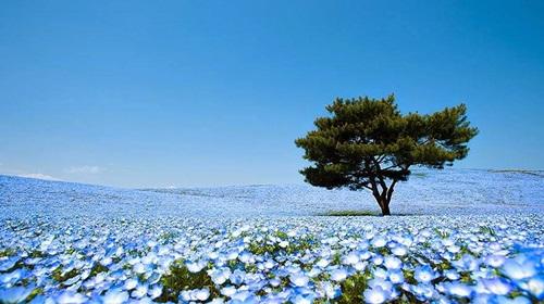 Flores ojos azules 4