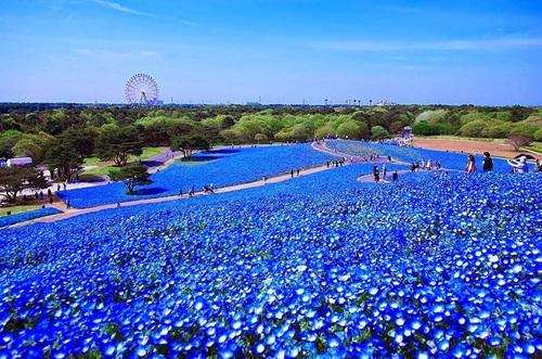 Flores ojos azules 5