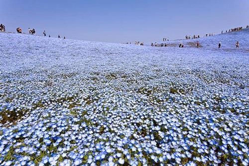 Flores ojos azules 6