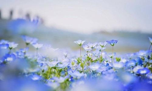 Flores ojos azules 7