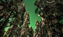 Auroras y pinos nevados