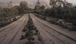 Ceniza cultivos
