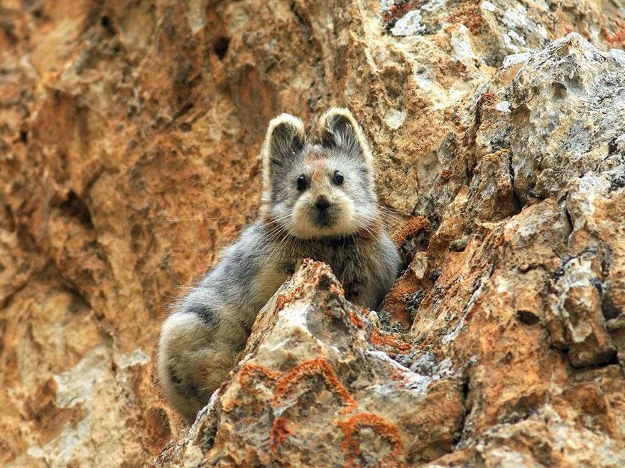 Ili Pika (Ochotona iliensis) conejo magico