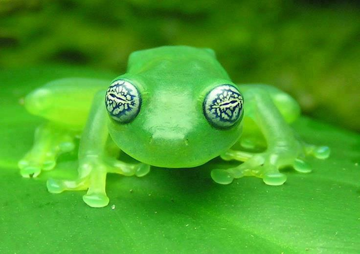 La-preciosa-rana-de-cristal