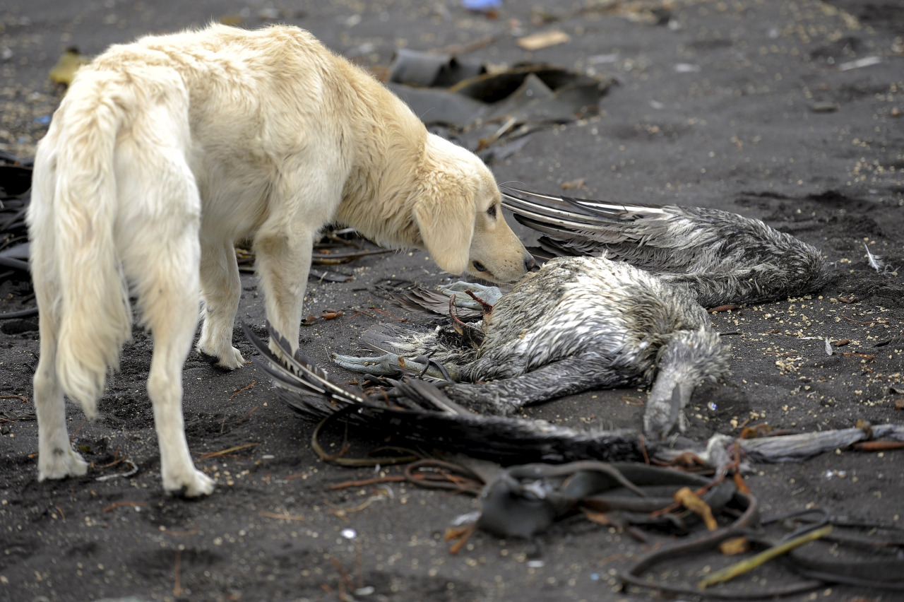 Muerte de aves en Chile