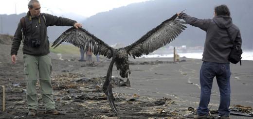 Pelicano muerto en Chile