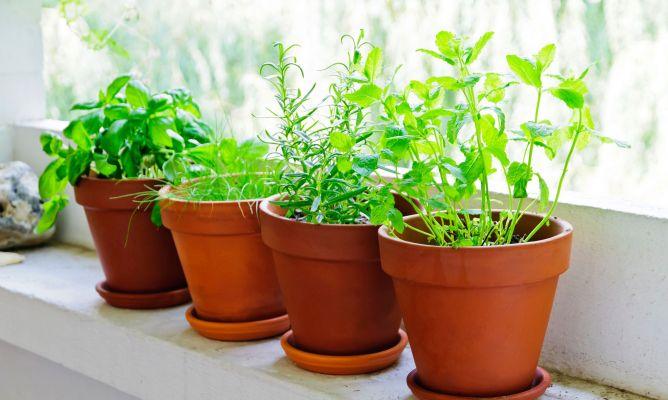 Plantas aromaicas-