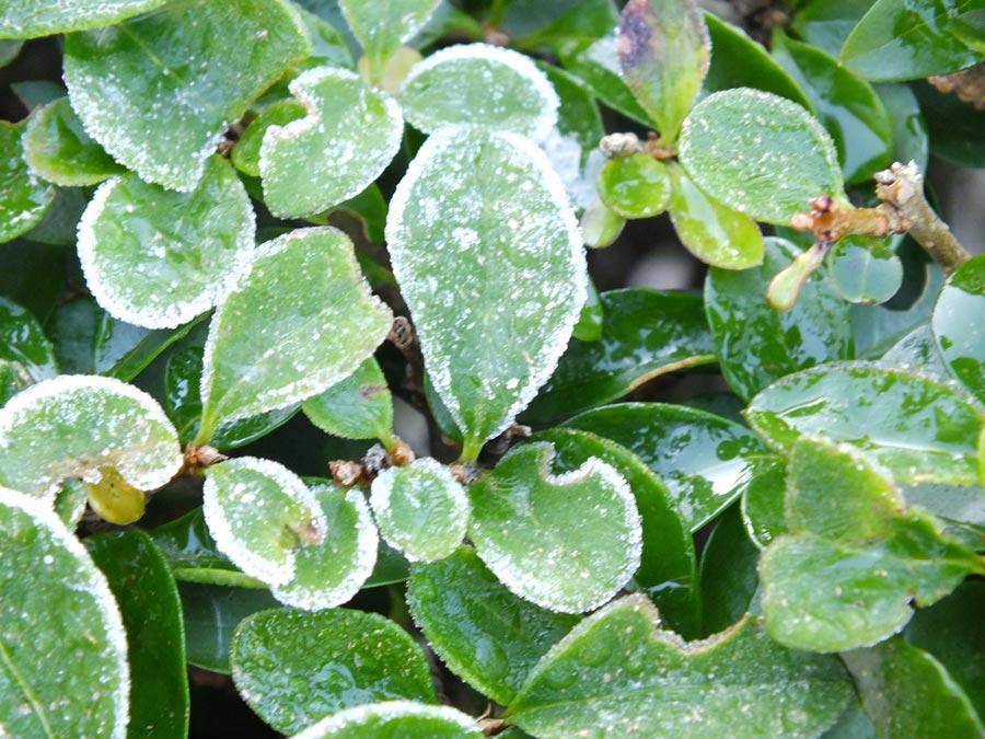 frio-plantas-proteger-heladas