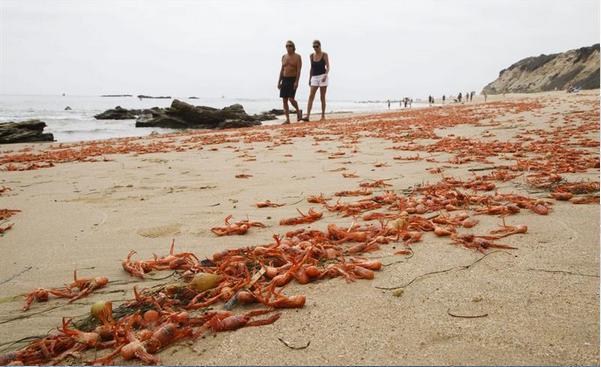 Cangrejos en playas de California 3