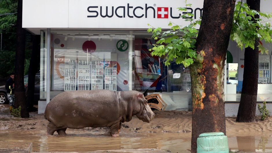 A hippopotamus walks along a flooded street in Tbilisi on June 14, 2015. Tigers, lions, jaguars, bears and wolves escaped on June 14 from flooded zoo enclosures in the Georgian capital Tbilisi, the mayor's office said. Some of the animals were captured by police while others were shot dead, the mayor's office told local Rustavi 2 television. At least eight people have drowned and several others are missing in the Georgian capital Tbilisi in serious flooding. AFP PHOTO / BESO GULASHVILI        (Photo credit should read BESO GULASHVILI/AFP/Getty Images)
