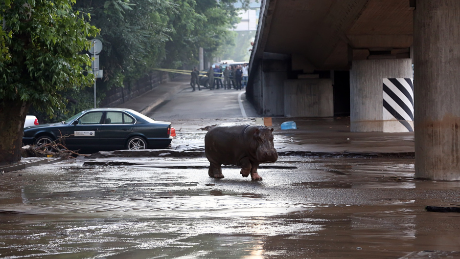 A hippopotamus walks across a flooded street in Tbilisi on June 14, 2015. Tigers, lions, jaguars, bears and wolves escaped on June 14 from flooded zoo enclosures in the Georgian capital Tbilisi, the mayor's office said. Some of the animals were captured by police while others were shot dead, the mayor's office told local Rustavi 2 television. At least eight people have drowned and several others are missing in the Georgian capital Tbilisi in serious flooding. AFP PHOTO / BESO GULASHVILI        (Photo credit should read BESO GULASHVILI/AFP/Getty Images)