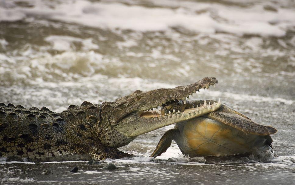cocodrilo y tortuga verde