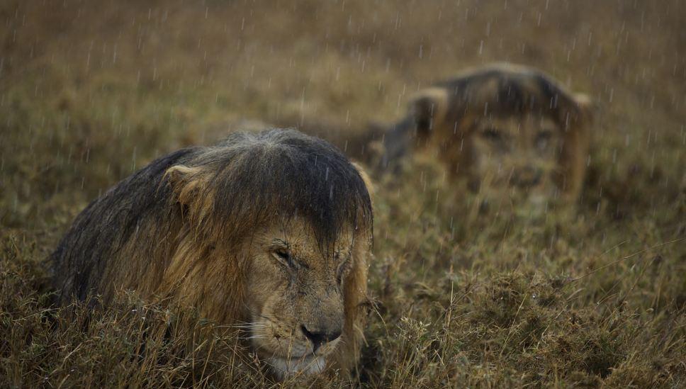 leones bajo la lluvia