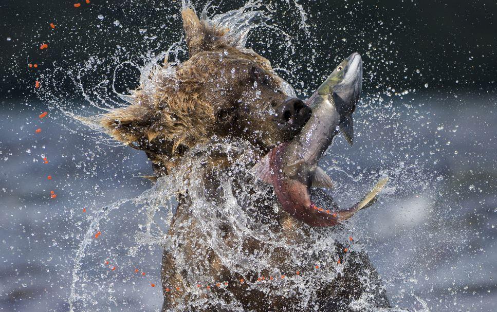 oso cazando