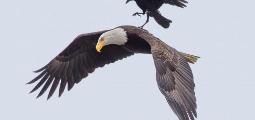 un cuervo aterrizando y descansando en un aguila 2