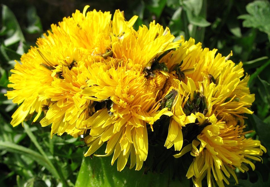 Flores con fasciacion