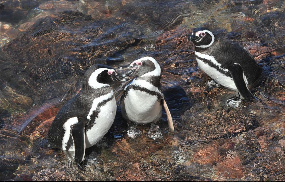 Llegada de Pinguiinos