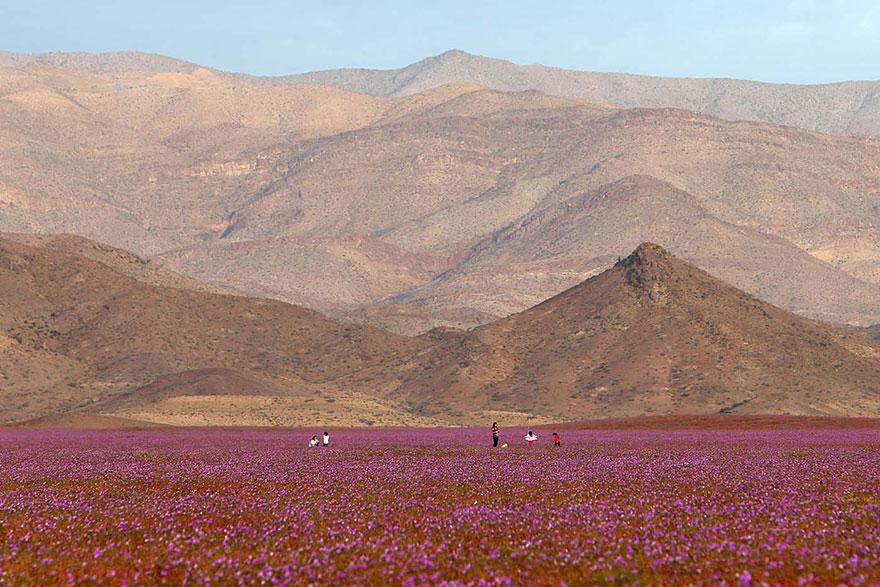 Flores en desierto de Atacama 2