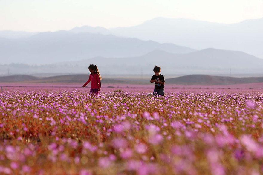 Flores en desierto de Atacama 3