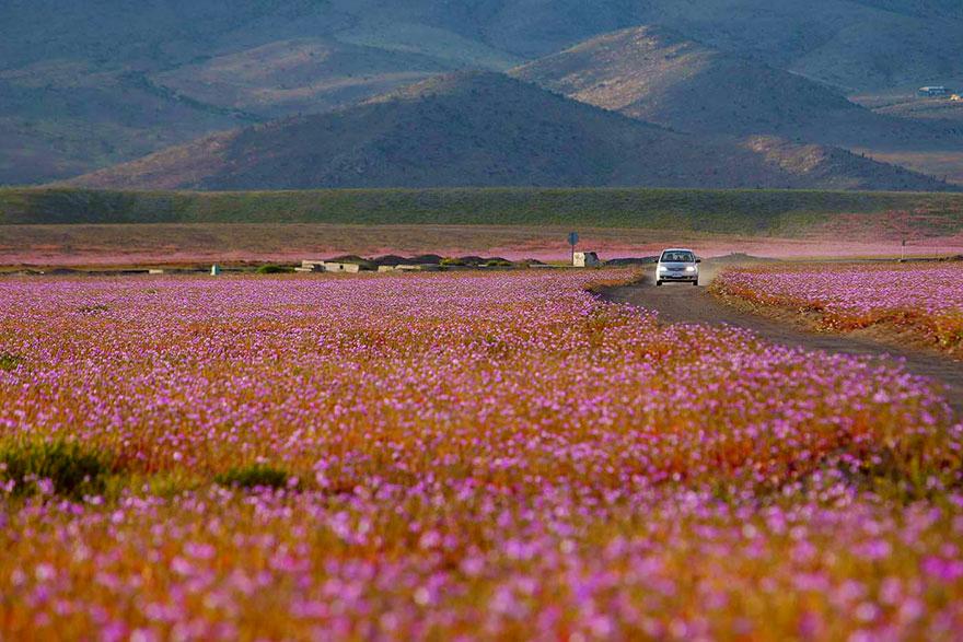 Flores en desierto de Atacama 7