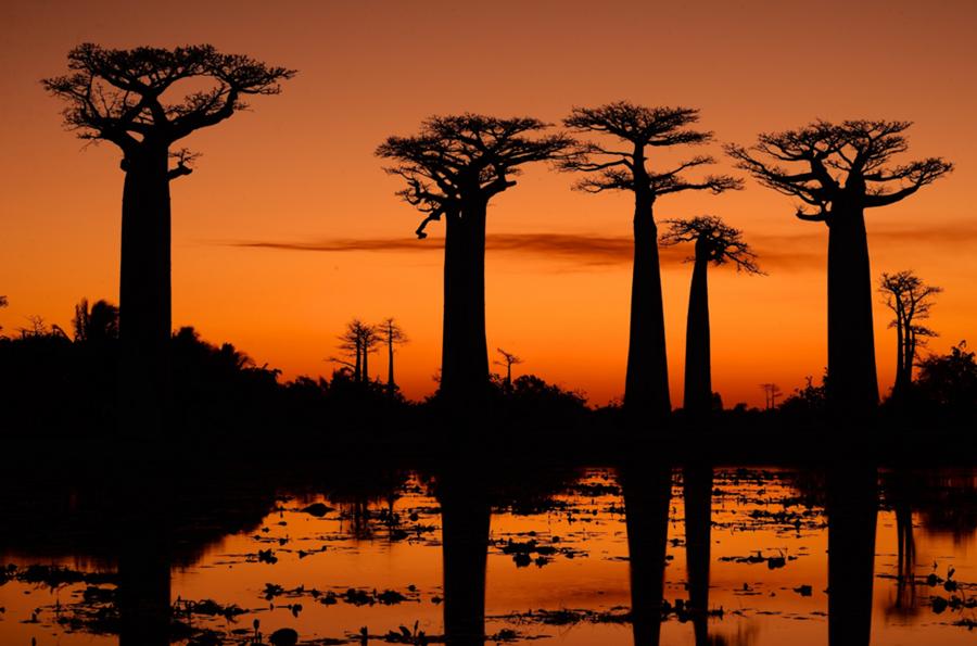 Baobabs de Madagascar 1