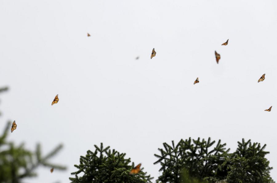 Mariposas monarcas 1