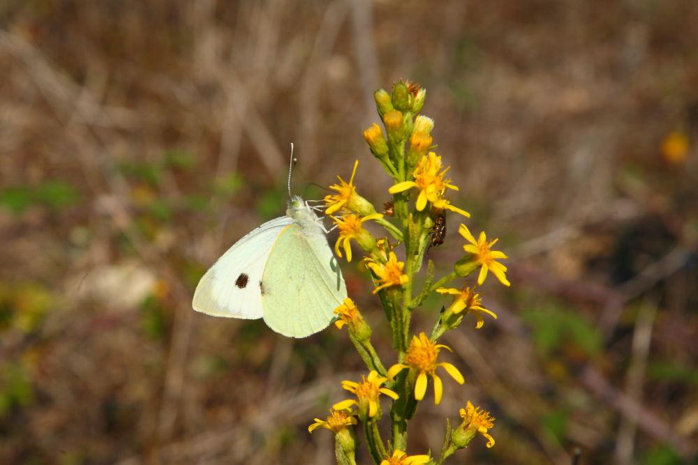 mariposa-blanca-