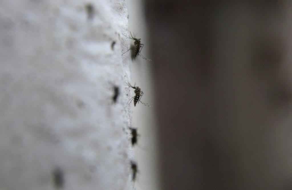 Mosquitos transgenicos 1