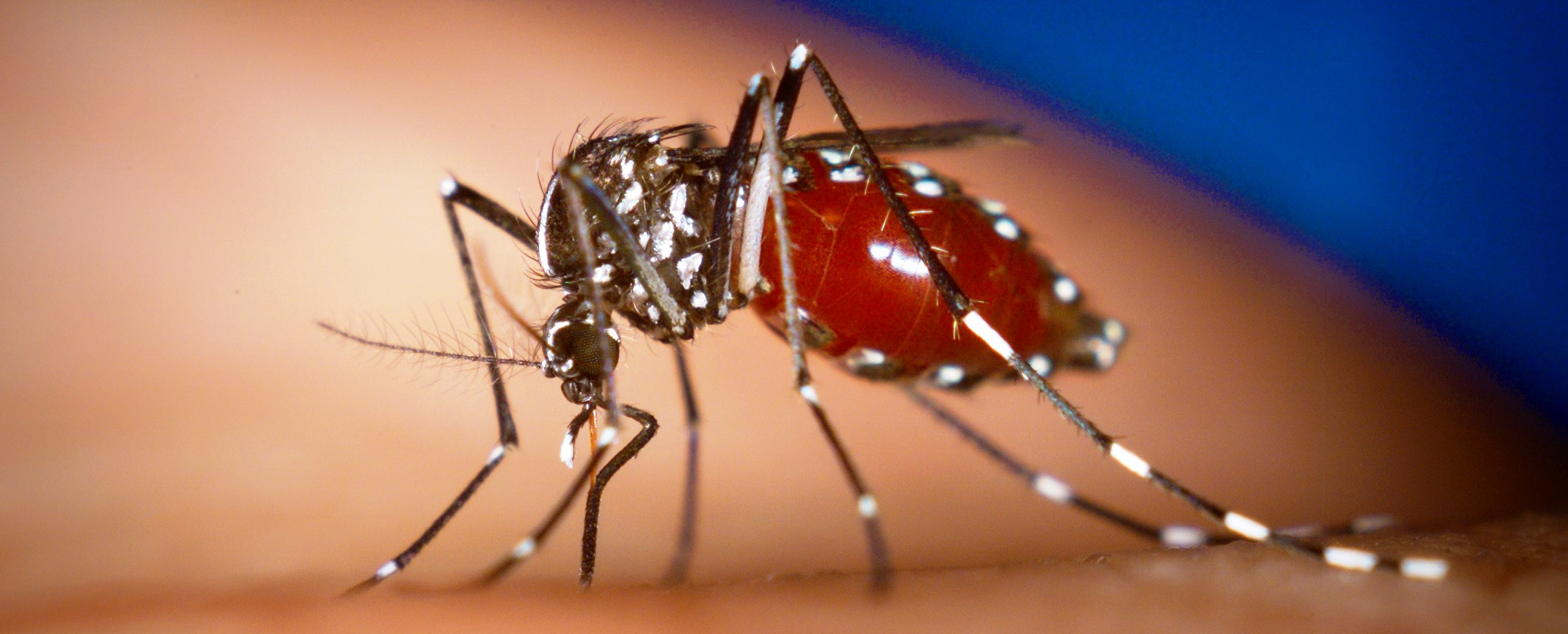 An Aedes albopictus female mosquito feeds on a human blood meal. Photo by James Gathany, Centers for Disease Control and Prevention
