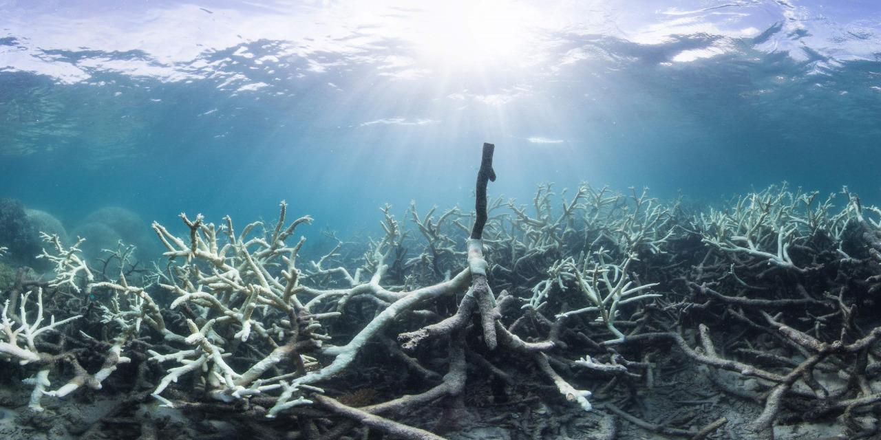 Barrera de Coral pierde su color 4