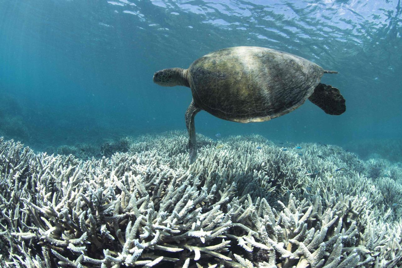 Barrera de Coral pierde su color 5