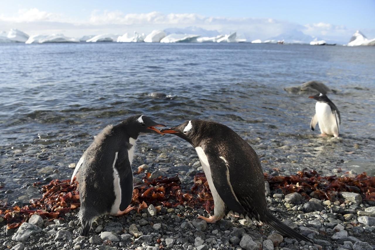 Pinguiinos amenazados por falta de alimento en la Antartida 2