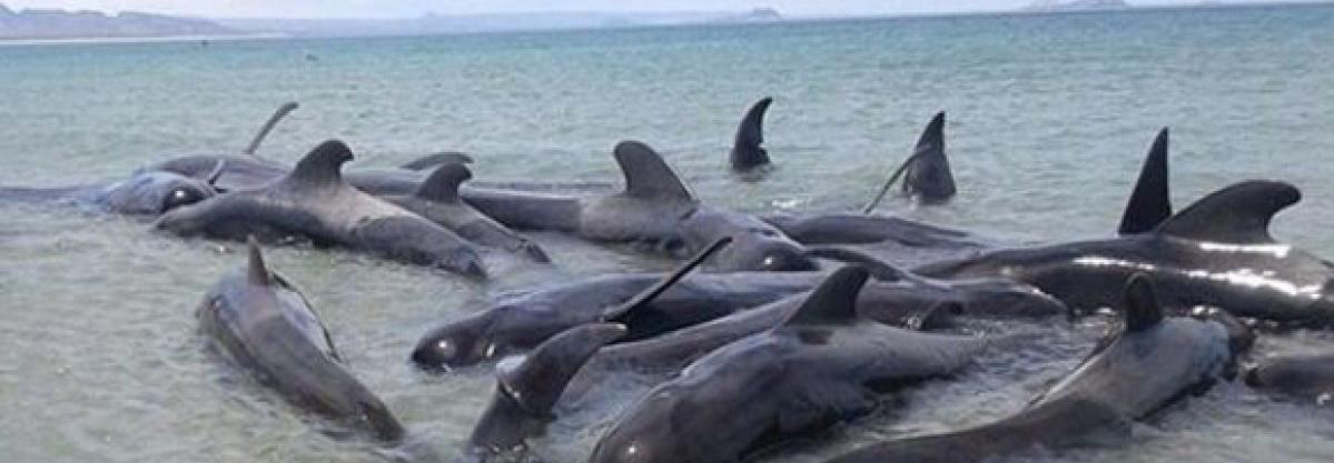 Ballenas muertas en playas de Mexico