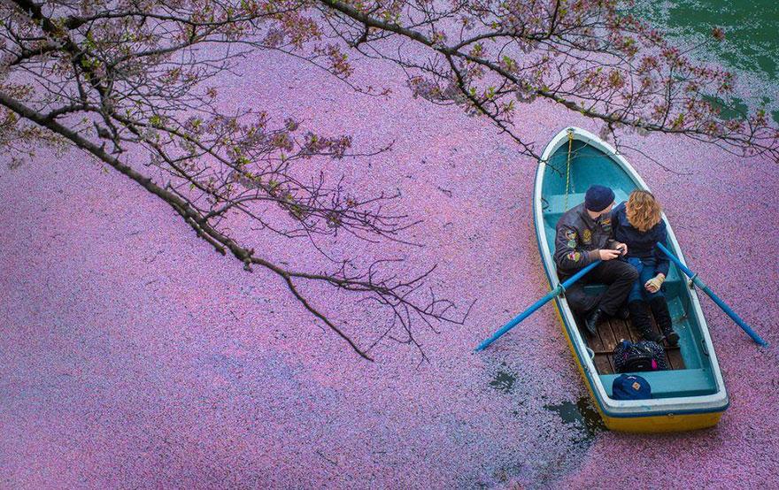 Lago pintado por flores de cerezo 1