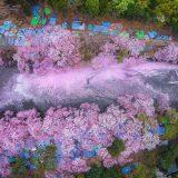 Lago pintado por flores de cerezo