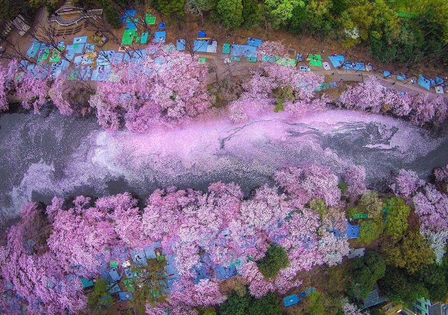 Lago japonés pintado por las flores del cerezo