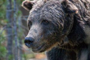 Scarface el oso