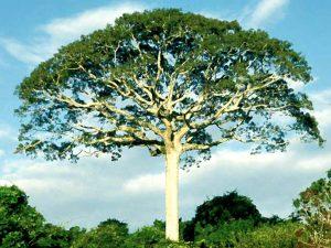 Arbol amazonas