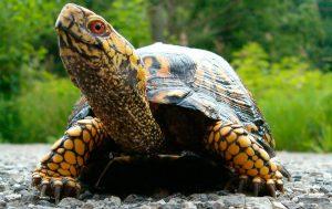 Caparazon de tortugas